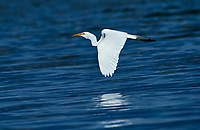 Great Egret (Ardea alba) flying over Lake Chapala, Ajijic, Jalisco, Mexico
