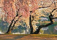 New Jersey, Newark, Branch Brook Park, Spring, Cherrry Blossom trees by pond