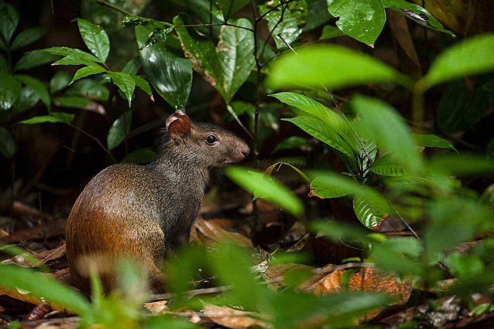 Red-rumped Agouti (Dasyprocta agouti)<br /> Atta Lodge<br /> Iwokrama Forest Reserve<br /> GUYANA<br /> South America