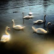 Swans at Vltava (Moldau) river. #prag #praha #prague #sun #light #swan #water #vltava #moldau #czechrepublic #shadow #tschechien