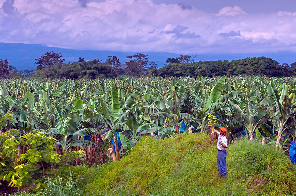 Banana Farmer Inspects His Bananas At The Edge Of His Plantation In Costa Rica