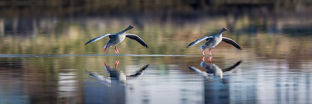 Grey Goose in for landing   Grågås inn for landing