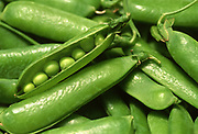 Close up selective focus photograph of a bunch of English Shelling Peas with one pod opened