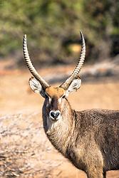 Waterbuck buck, Sabi Sands Game Reserve, South Africa