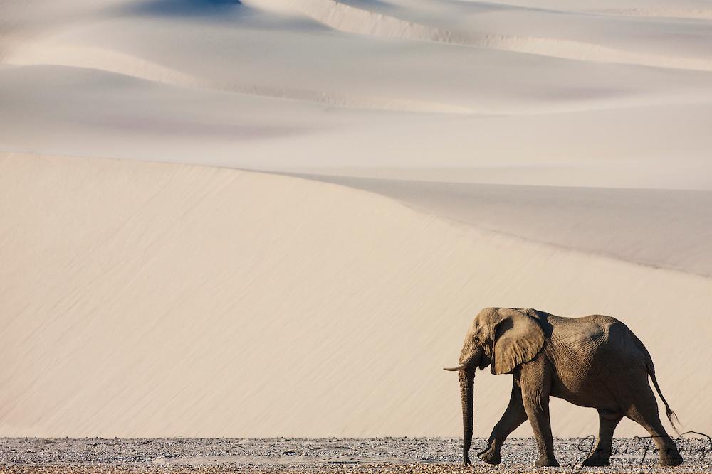 A solitary desert-adapted elephant bull (Loxodonta africana) walks through sand dunes ,Skeleton Coast, Namibia,Africa