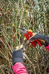 Pruning Jasminum nudiflorum AGM syn. Jasminum sieboldianum - Winter flowering jasmin - after it has finished flowering