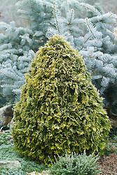 Thuja occidentalis 'Europe Gold' in winter - White cedar