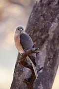 Shikra Hawk bird of prey, Accipiter Badius, in Ranthambhore National Park, Rajasthan, Northern India