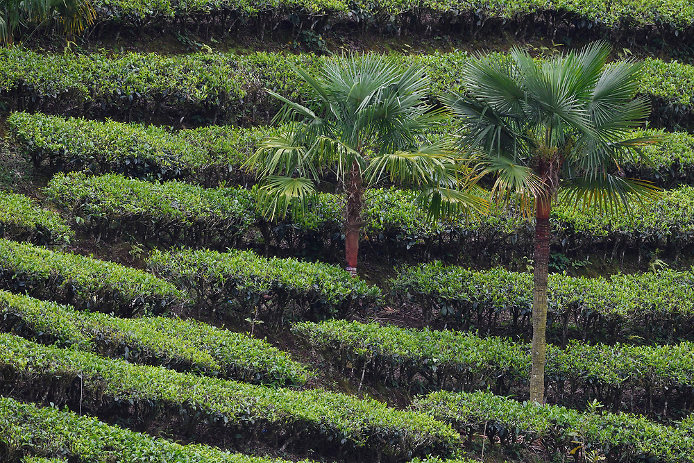 Palm trees in a tea plantation, He Xin Chang Forest reserve, Dehong Prefecture, Yunnan Province, China