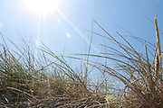 Dune grass on flared blue sky