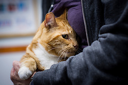 Cat being held by his owner during a consultation at Rushcliffe Veterinary Centre, West Bridgford, Nottingham, UK.<br />