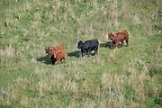 Nederland, Nijmegen, 16-10-2018 Wilde runderen grazen op het Lentereiland, Veur Lent, het eiland dat is ontstaan door de aanleg van de nevengeul tegenover de stad. Deze twee stieren betwisten elkaar het leiderschap. De koppen en horens tegen elkaar. Natuurbegrazing door het uitzetten van Schotse Hooglanders. De grazers lopen op de oever en houden de begroeing laag en divers. Ze zijn uitgezet door de stichting Taurus die zich ook bezighoudt met het terugfokken van het Europese oerrund, de oerkoe. Foto: Flip Franssen