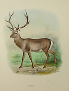 The Kashmir stag (Cervus hanglu hanglu), also called hangul, is a subspecies of Central Asian red deer endemic to Kashmir, India. from the book ' The deer of all lands : a history of the family Cervidae, living and extinct ' by Richard Lydekker, Published in London by Ward 1898