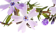 A sprig of Creeping Phlox (Phlox subulata) on a white background