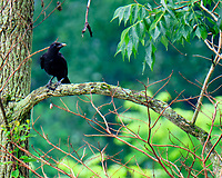 American Crow. Image taken with a Fuji X-T2 camera and 100-400 mm OIS telephoto zoom lens.