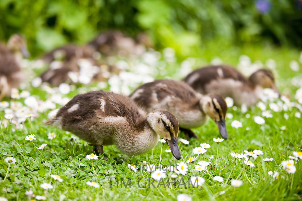 Mallard ducklings among daisies in The Cotswolds, Oxfordshire, England, United Kingdom