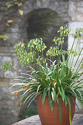 Seedheads of Agapanthus 'Northern Star' in a terracotta container. Still looking decorative in late autumn. African lily.