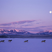 Gray Wolf (Canis lupus) pack running across a frozen reservoir during moonrise in southwest Montana. Captive Animal