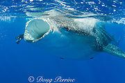 photographer Deron Verbeck and whale shark, Rhincodon typus, with mouth open to feed, Kona Coast, Hawaii Island ( the Big Island ), Hawaiian Islands ( Central Pacific Ocean )