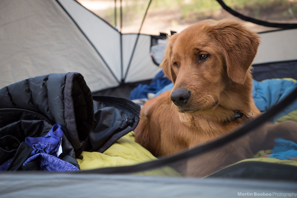 A young dog (golden retriever) tests in a tent, Toiyabe National Forest, California