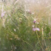 Lost Meadow