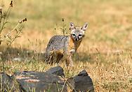 Female Gray Fox