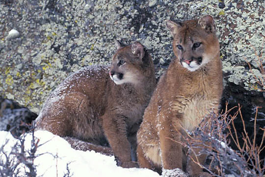 Mountain Lion or Cougar, (Felis concolor) Pair of cubs in Snowy Rocky mountains. Montana.  Captive Animal.