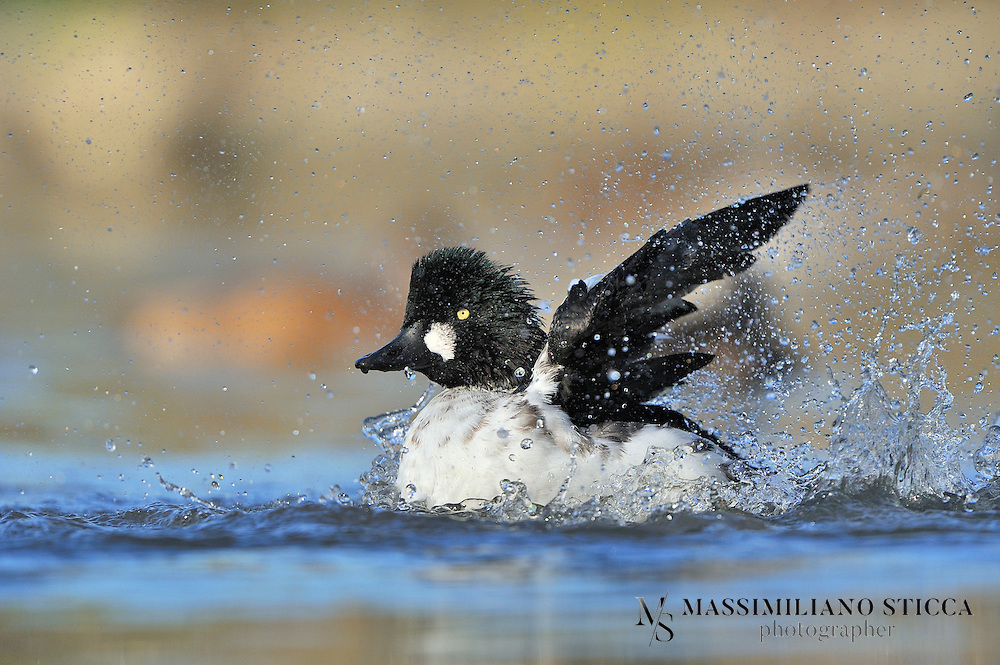 The Common Goldeneye (Bucephala clangula) is a medium-sized sea duck of the genus Bucephala, the goldeneyes. Their closest relative is the similar Barrow's Goldeneye.<br /> Adult males ranges from 45–52 cm (18–21 inches) and from 888 to 1400 grams (1.9 to 3.1 lbs), while females range from 40–50 cm (16–20 inches) and from 500 to 1182 grams (1.1 to 2.6 lbs). The species is aptly named for its golden-yellow eye. Adult males have a dark head with a greenish gloss and a circular white patch below the eye, a dark back and a white neck and belly. Adult females have a brown head and a mostly grey body. Their legs and feet are orange-yellow.