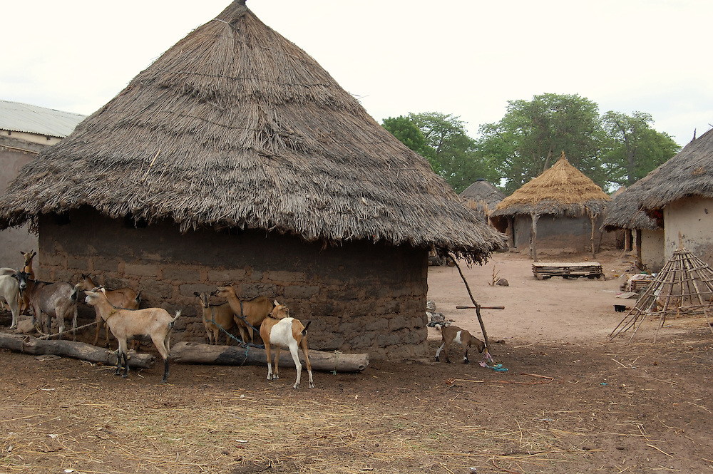 A herd of goats are tied to large logs to keep them close by in the rural village of Koussanar in Tambacounda, Senegal.