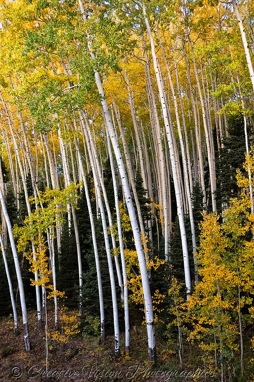 Birch tree stand near Owl Creek Pass, Colorado