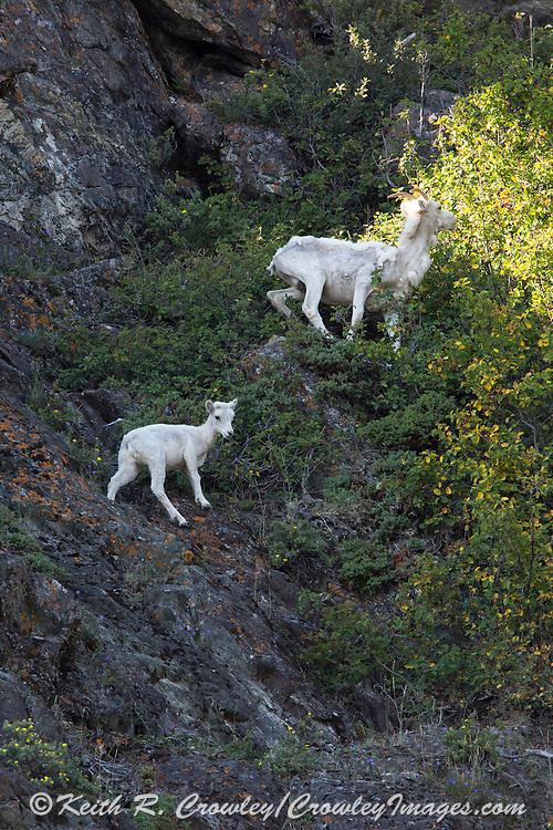 Dall sheep lamb and ewe in rocky Alskan habitat