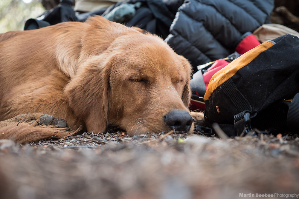 A young dog (golden retriever) sleeps after a long hike, Toiyabe National Forest, California