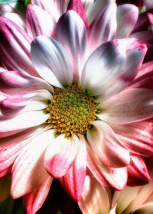 A beautiful photo of a flowers with soft pink and white petals.