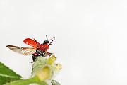 [captive] Hazel Leaf-roller Weevil (Apoderus coryli) Westensee, Germany | Der Haselblattroller (Apoderus coryli) gehört zu der riesigen Gruppe der vierflügeligen Insekten. Dem typischen Käferbauplan entsprechend sind seine vorderen Flügel zu harten, aus dickem Chitin bestehenden Deckflügeln umgebildet, während das häutige hintere Flügelpaar zum Fliegen eingesetzt wird. Beim Start werden die Deckflügel sowie ein Beinpaar zur Balance abgespreizt und die sonst nicht sichtbaren transparenten Flügel ausgeklappt. Durch schnelle Flügelschläge kann sich der Haselblattroller in die Luft erheben und beispielsweise einen neuen Haselstrauch zum Fressen ansteuern.