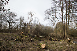 Harefield, UK. 13th February, 2021. Trees recently felled in the Colne Valley on the opposite side of the Grand Union Canal from an area of Denham Country Park recently cleared of mature trees by contractors working on behalf of HS2 Ltd for pylon relocation works connected to the HS2 high-speed rail link.