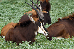 03 July 2006:   Sable Antelope rest in a filed full of clover like folaige.