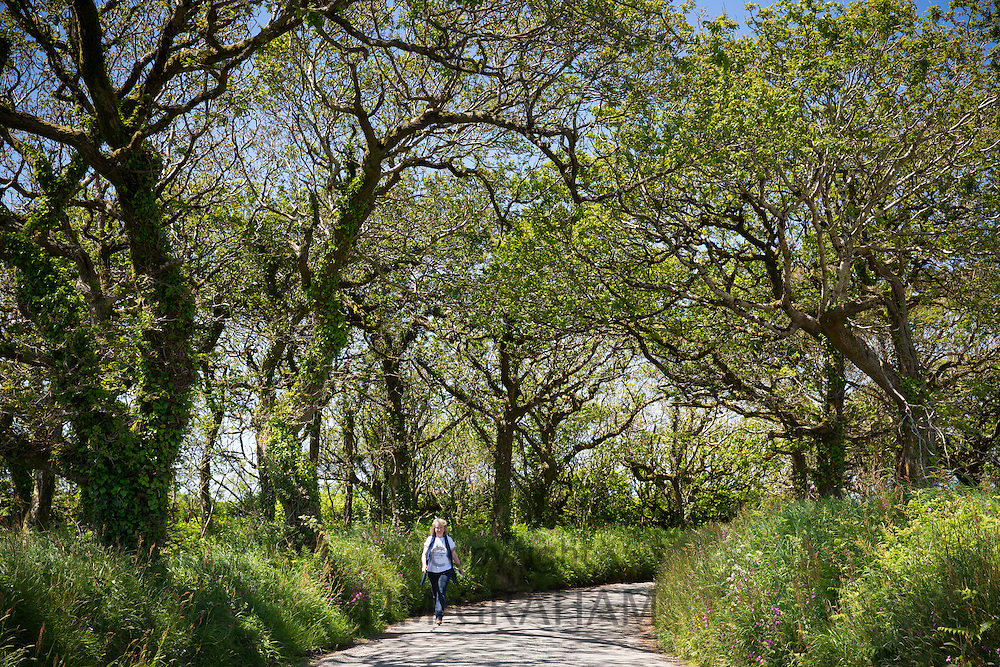 Lone walker strolling along tree-lined country lane during holiday in North Devon, Southern England, UK