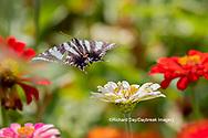 03006-00417 Zebra Swallowtail (Protographium marcellus) on Zinnia Union Co. IL