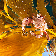 A kelp crab (Pugettia producta) feeding on giant kelp (Macrocystis pyrifera) off San Diego, California, USA