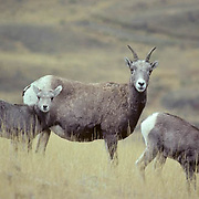 Bighorn Sheep,  (Ovis canadensis) Adult ewe with twin lambs on foothills. Fall.