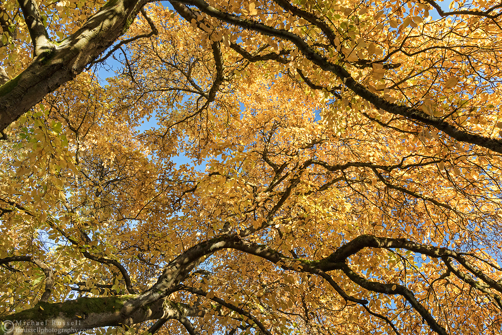 Looking up into the fall foliage of a Star Magnolia (Magnolia stellata) at Queen Elizabeth Park in Vancouver, British Collumbia, Canada.