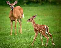 Doe and Fawn with Spots. Image taken with a Nikon D800 and 600 mm f/4 VR lens (ISO 600, 600 mm, f/4, 1/640 sec). Raw image processed with Capture One Pro, Focus Magic, and Photoshop CC.