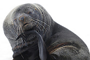 An  Antarctic fur seal (Arctocephalus gazella) appears to poses for a photograph. Shingle Cove, Coronation Island, South Orkney Islands, Antarctica. 28Feb16Feb16