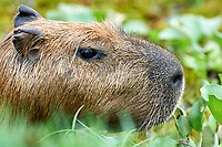 Capybara (Hydrochoerus hydrochaeris) swimming in small pond, Araras Ecolodge,  Mato Grosso, Brazil (Photo: Peter Llewellyn)