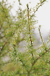 Dewdrops on larix decidua, Salzburger Land, Austria
