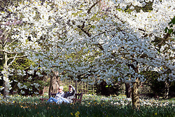 © Licensed to London News Pictures. 20/04/2016. Hampton Court, UK. A couple sit under white blossom in the sunshine.  People enjoy the sunshine and blossom in the Wilderness Garden at Hampton Court Palace in Surrey this morning, 20th April 2016. The UK is enjoying sunny weather today. Photo credit : Stephen Simpson/LNP