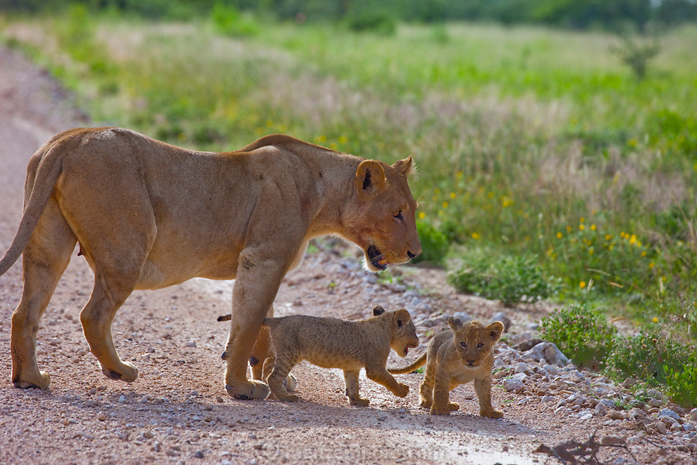 A lioness watches over its cubs as it crosses a dirt road near the Okaukuejo restcamp at Etosha National Park game reserve, northern Namibia.