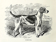 Foxhound From the book ' Royal Natural History ' Volume 1 Section II Edited by  Richard Lydekker, Published in London by Frederick Warne & Co in 1893-1894