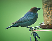 Brown-headed Cowbird Image taken with a Nikon D5 camera and 600 mm f/4 VR telephoto lens (ISO 1600, 600 mm, f/5.6, 1/160 sec).