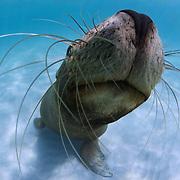 Juvenile Australian sea lion showing off its whiskers